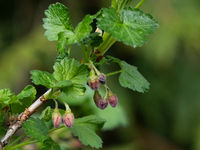 Close up of black currant branch with buds