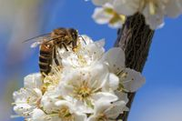 Bee is pollinating a blossom