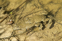 Mating of yellow-bellied toads