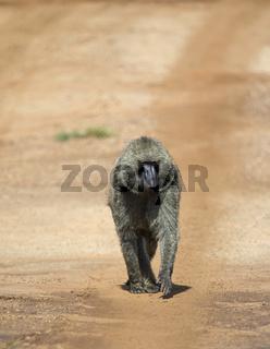 Baboon Walking on road, Maasai Mara, Africa