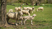 Flock of sheep for landscape maintenance on a meadow in Herrenkrugpark near Magdeburg in Germany