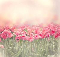 Tulip flowers . Spring nature background