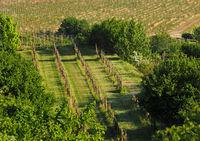Spring flowering vineyard in Moravia in Central Europe