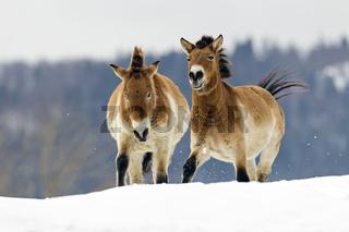 Przewalski-Pferde (Equus caballus przewalskii) im Winter