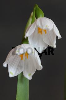 Maerzbecher (Leucojum vernum)