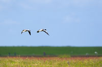 Couple common shelduck flying in the air