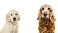 Portrait of a senior Cocker Spaniel dog and a young golden Retriever puppy on a white background
