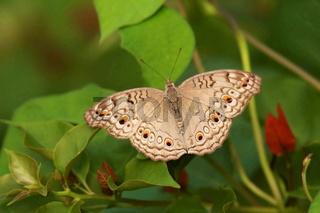 Grey Pansy, Junonia atlites Butterfly found in South Asia. Mumbai, Maharashtra, India