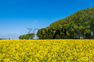 Rapsfeld mit Bäumen und blauen Himmel bei Parkentin