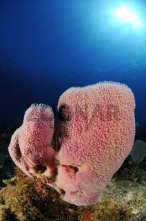 Niphates digitalis, Korallenriff mit Rosa Vasenschwamm