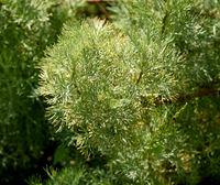 Eberraute, Artemisia abrotanum