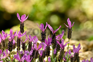 Lavandula Stoechas (French Lavender, Topped Lavender)