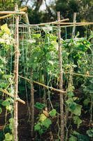 Tied bushes of cucumbers with fruits in the garden.