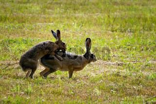 European Hares in Love