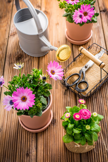 Spring flowers and plants in flowerpots with gardening tools and watering can on wooden background