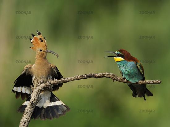 European Bee-eater, Merops apiaster