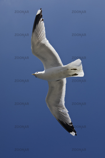 Flying Sea Gulls (Larus canus) with recognizable hand wing pattern, North Frisia, Germany, Europe