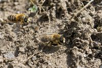 vernal colletes at their nest