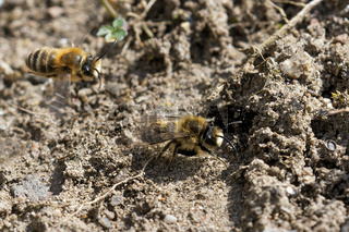 Frühlings-Seidenbienen am Nest