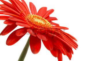 Red flower on a white background