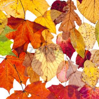 many loose leaves
