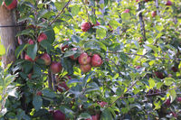 An Apple Orchard in Hohenlohe, Germany