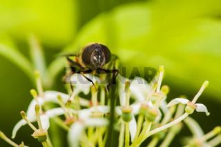 Ligustrum vulgare gemeiner Liguster with fly