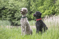 Two king poodles