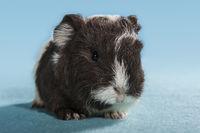 bicolor guinea pig baby