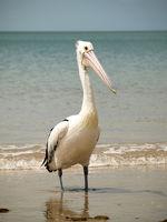 Glasses Pelican at sea