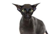 Black oriental funny cat
