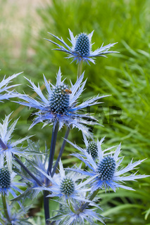 twig flowering thistles , blue sea holly