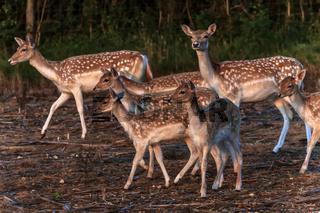 Fallow Deer (Dama dama) UK