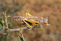 A brown locusts (Locustana pardalina) sitting on a branch
