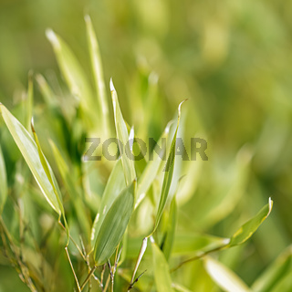 Bamboo background, fresh leaves on tree as nature, ecology and environment concept