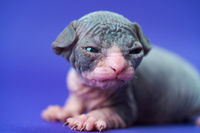 Sphynx Cat of blue and white two weeks old lies on blue background. Little male kitty ready to cry