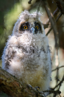 Baby Long-eared owl owl in the wood, sitting on tree trunk in the forest habitat