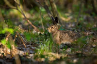 Juvenille brown hare standing in forest during sunny spring day