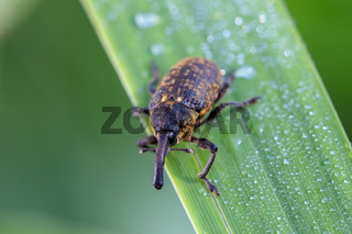 insect beetle Black Vine Weevil - Otiorhynchus sulcatus, Czech Wildlife