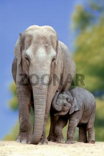Junger Elefant schmust mit Elefantenkuh