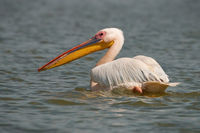 Great white pelican floating water and looking back over shoulder