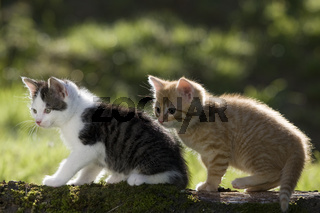 zwei Kaetzchen auf Ast im Gegenlicht, two kitten on branch in the back-light