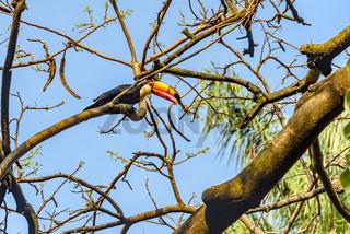 Toucan perched among vegetation