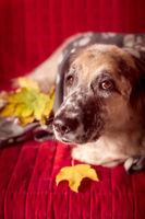 Big Dog on the sofa and autumn leafs