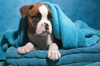 Boxer dog puppy with blue blankie