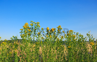 Yellow wildflowers on the summer meadow.