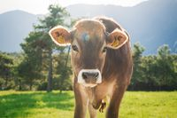 Cute sunlit calf from the brown cattle breed on an alpine pasture meadow, Tirol, Austria