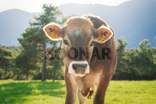 Cute sunlit calf from the brown cattle breed on an alpine pasture meadow in the mountains, Mieming, Tirol, Austria