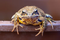 Portrait of a common frog on a bucket edge against a brown background