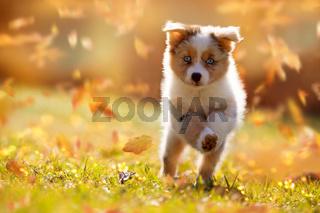 Dog, Australian Shepherd puppy jumping in autumn leaves